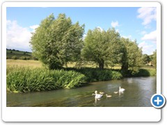 A family of Swans on the River Windrush