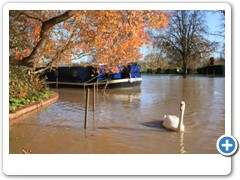 A swan on the river on a late autumn day at   Stratford upon Avon  autumn